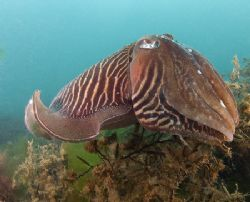 Large male cuttlefish.10.5mm.